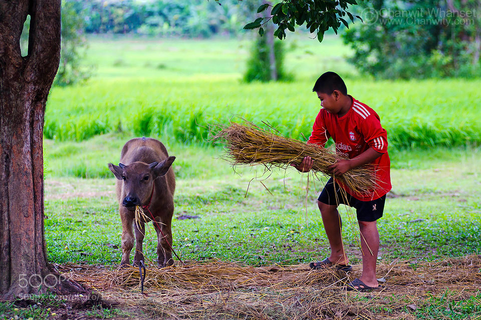 Photograph Kid and Buffalo by Chanwit Whanset on 500px