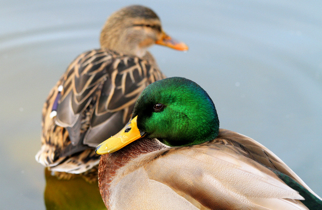 Photograph Duck couple by Rainer Leiss on 500px