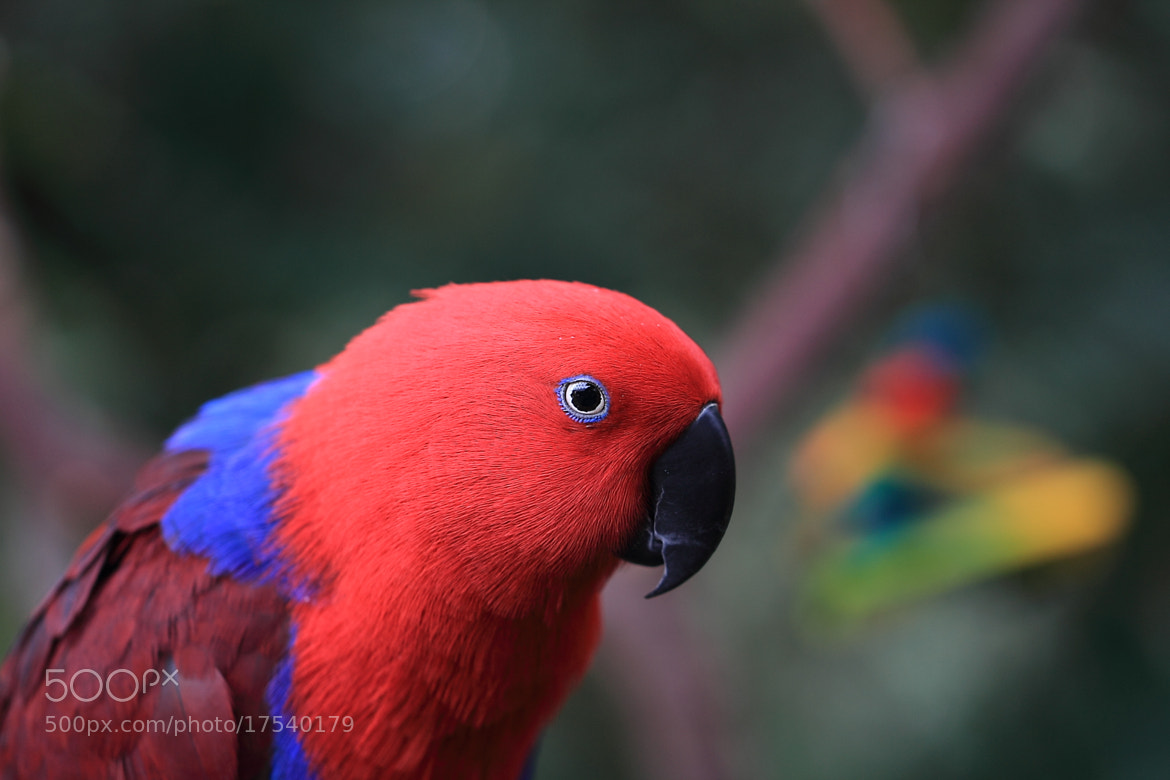 Photograph King Parrot by Eva Lechner on 500px