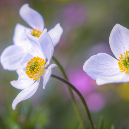 Narcissus-flowered anemone, Canon EOS 600D, Canon EF 100mm f/2.8 Macro