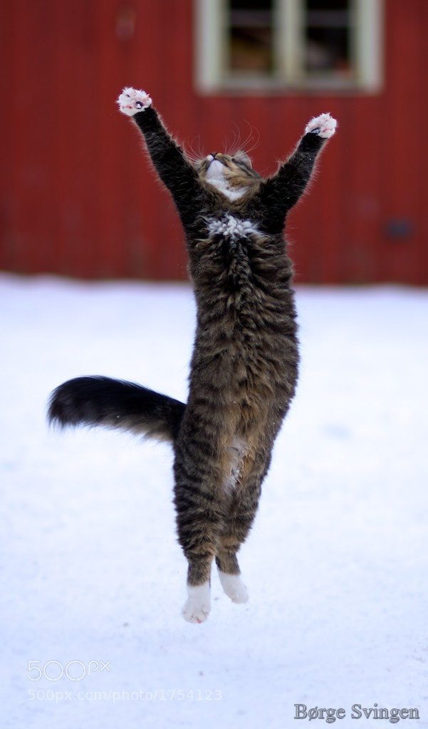 Photograph Jumping cat by Børge Svingen on 500px