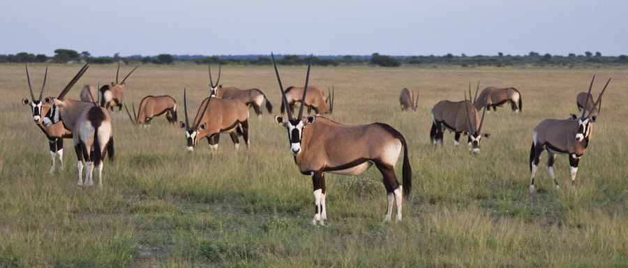 A small part of a large herd of Oryx in Central Kalahari Game reserve, Botswana, 6th March 2009