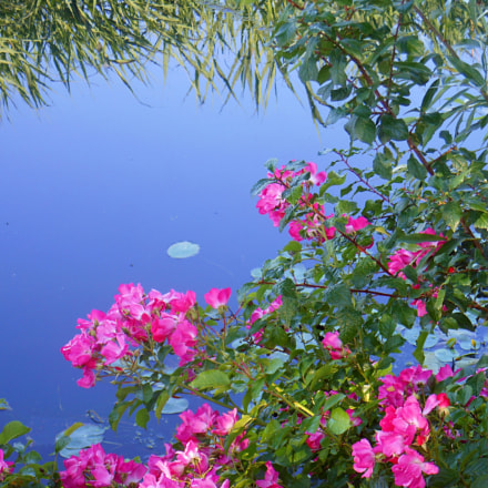 Pink flowers and water, Nikon COOLPIX S6200