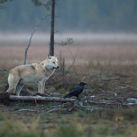 The wolf & the Raven, Canon EOS 5D MARK III, Canon EF 500mm f/4L IS II USM