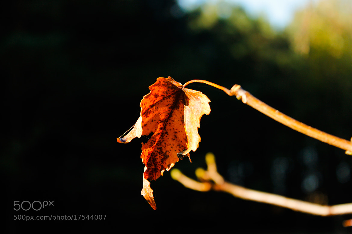 Photograph The lonely leaf by Tanasa Alin on 500px