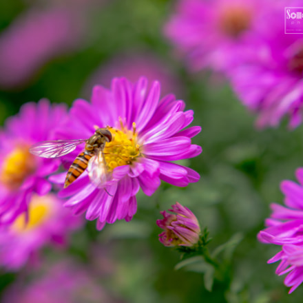 Hoverfly. | It's lunch time ..., Nikon D7100, Sigma 18-35mm F1.8 DC HSM