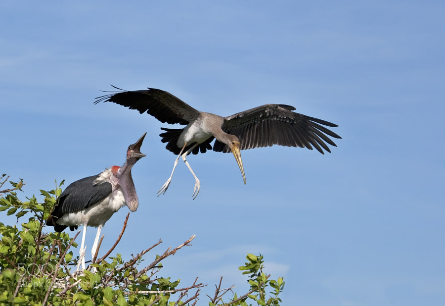 A Maribou Stork objects to an attempted landing by a Juvenile Yellow Billed Stork, Okavango, 27th December 2010