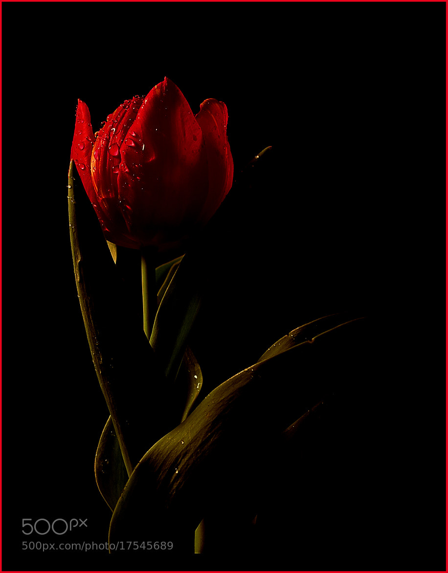 Photograph the red tulip by Turgut Özben on 500px