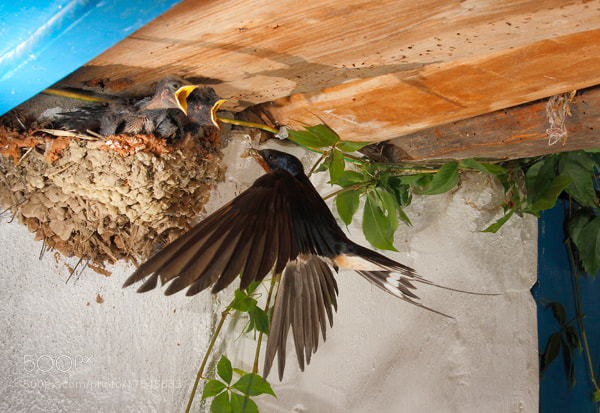 Photograph Barn Swallow by Andrés López on 500px