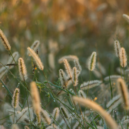 Seed Heads at Dawn, Canon EOS REBEL T4I, Canon EF 300mm f/4L IS + 1.4x