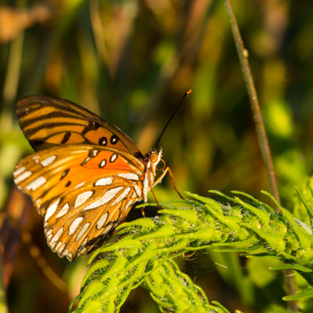 Fritillary in Dew, Canon EOS REBEL T4I, Canon EF 300mm f/4L IS + 1.4x