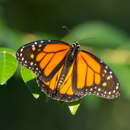monarch on display, Canon EOS REBEL T4I, Canon EF 300mm f/4L IS + 1.4x