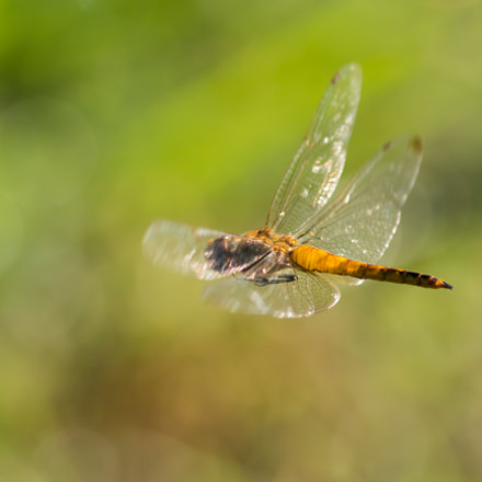 dragonfly in flight: outgoing, Canon EOS REBEL T4I, Canon EF 300mm f/4L IS + 1.4x