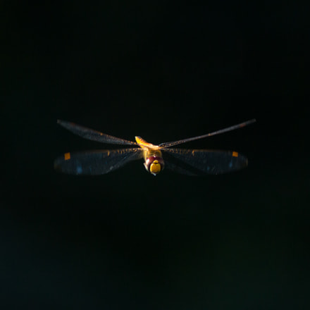 Dragonfly in flight: oncoming, Canon EOS REBEL T4I, Canon EF 300mm f/4L IS + 1.4x
