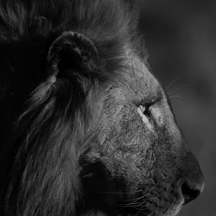 Lion-Kruger, South Africa, Canon EOS 7D MARK II, Canon EF 500mm f/4L IS II USM