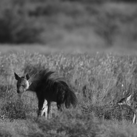 Brown Hyena Black Backed, Canon EOS 7D MARK II, Canon EF 500mm f/4L IS II USM