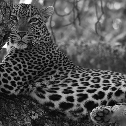 Leopard- Kruger, South Africa, Canon EOS 5DS, Canon EF 500mm f/4L IS II USM