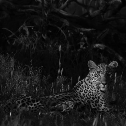 Leopard- Kgalagadi, South Africa, Canon EOS 7D MARK II, Canon EF 500mm f/4L IS II USM