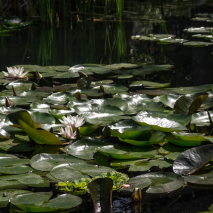 POND OF WHITE LOTUSES, RICOH PENTAX K-3 II, PENTAX-F 28-80mm F3.5-4.5