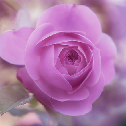 romantic rose