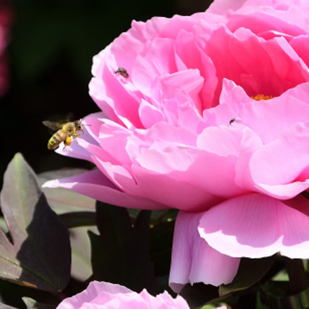 Peony with flowers honeybee, Nikon D200, Tamron AF 28-300mm f/3.5-6.3 XR LD Aspherical (IF) (185D)