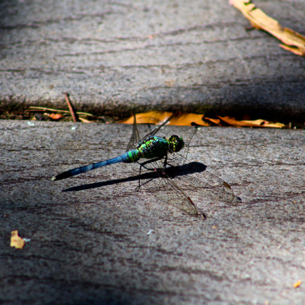 Dragonfly Rest, Canon EOS REBEL SL1, Canon EF 75-300mm f/4-5.6