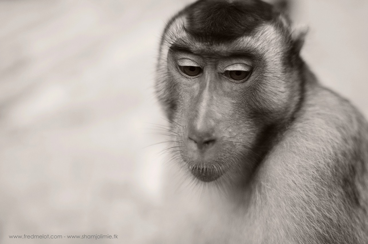 Photograph Pig tailed macaque by Fred Melot on 500px