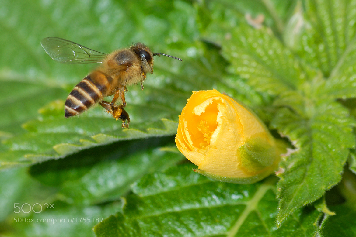 Photograph Bee by edmond lisy on 500px