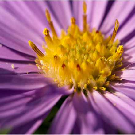 Aster, Sony DSLR-A500, Tamron SP 90mm F2.8 Di Macro 1:1 USD