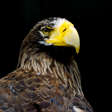 Steller's Sea Eagle of, Nikon D7000, Sigma 70-200mm F2.8 EX APO IF HSM