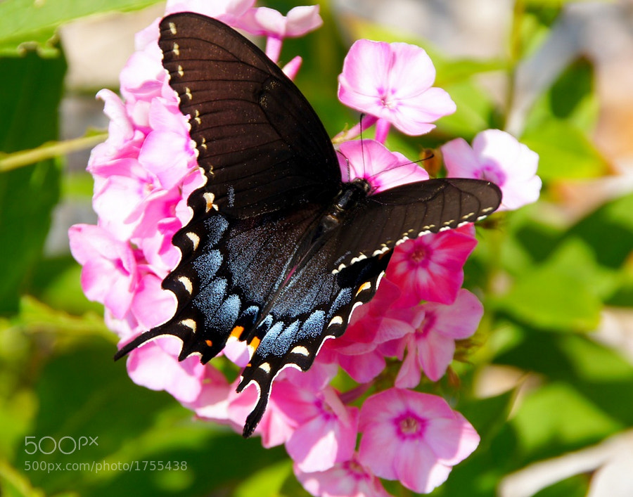 Female Tiger Swallowtail (Black variety)