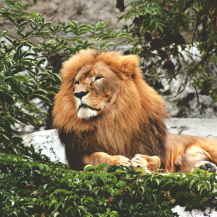 Lion King., Canon EOS 450D, Tamron AF 70-300mm f/4-5.6 Di LD 1:2 Macro