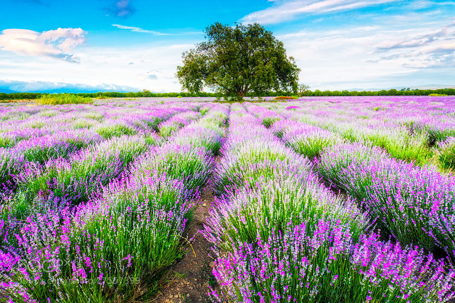 Photograph Fresh Lavender by Evgeni Dinev on 500px