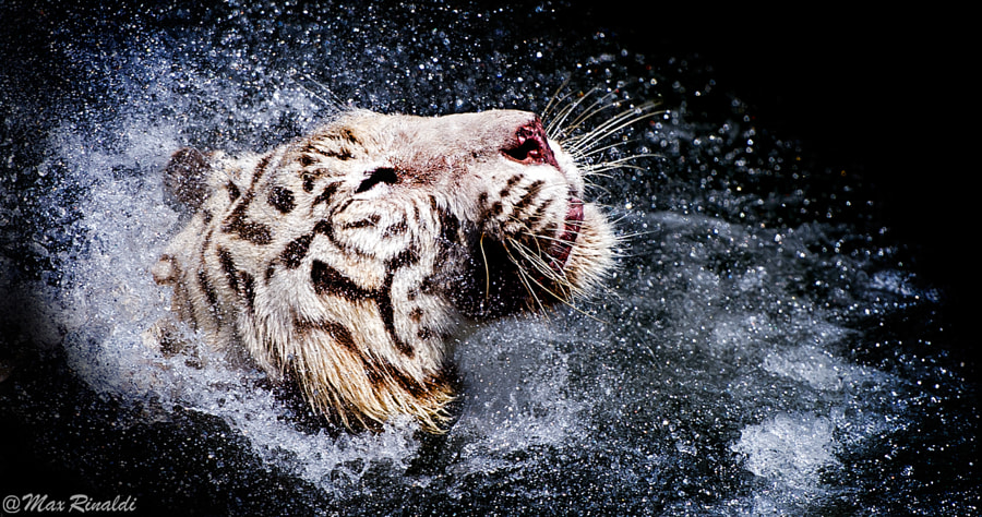 Tiger photography -Drops by Max Rinaldi on 500px.com