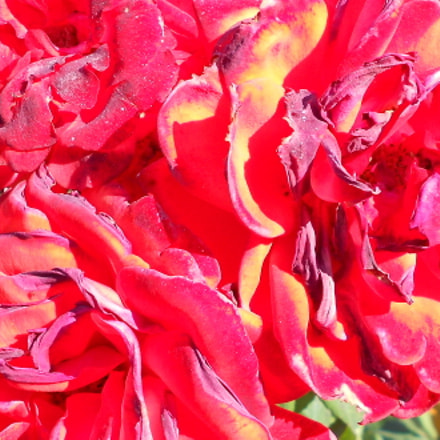 Red roses, Nikon COOLPIX S2600