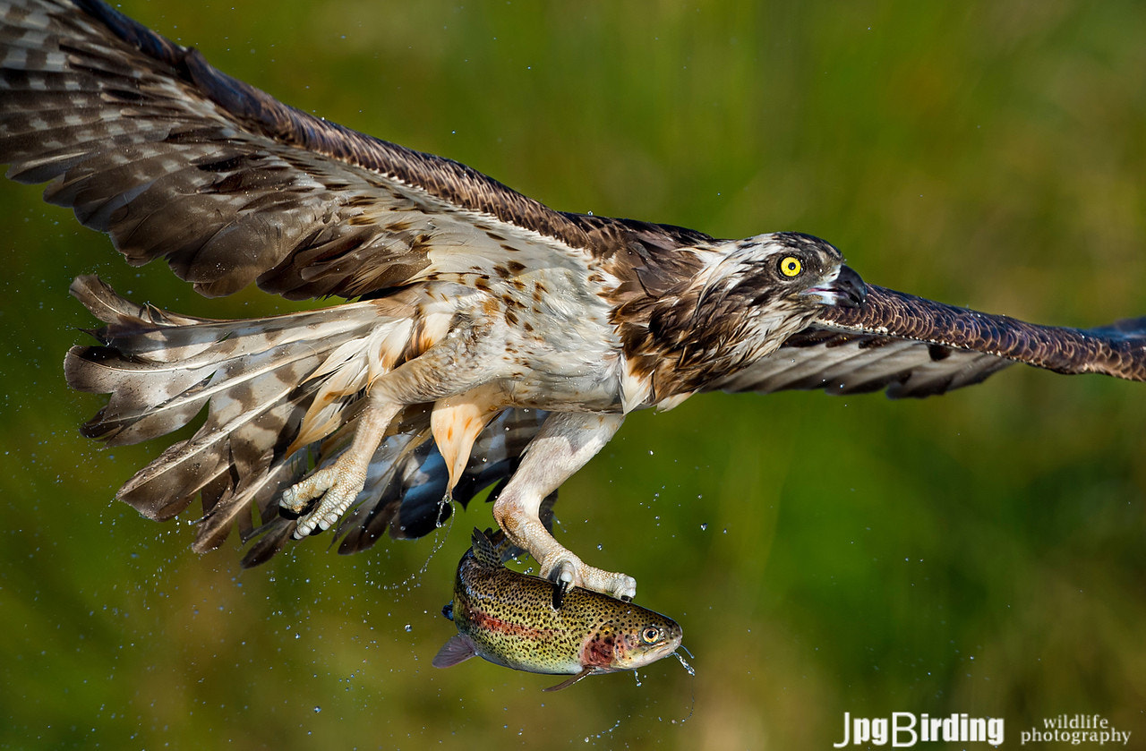Photograph Osprey series.... Leaving the pond by jose pesquero on 500px