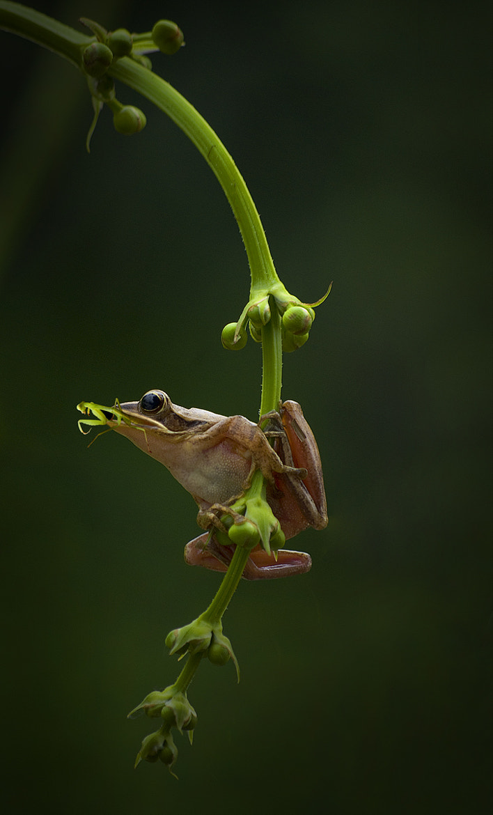 Photograph Frogs eat grasshoppers by Saelanwangsa  on 500px