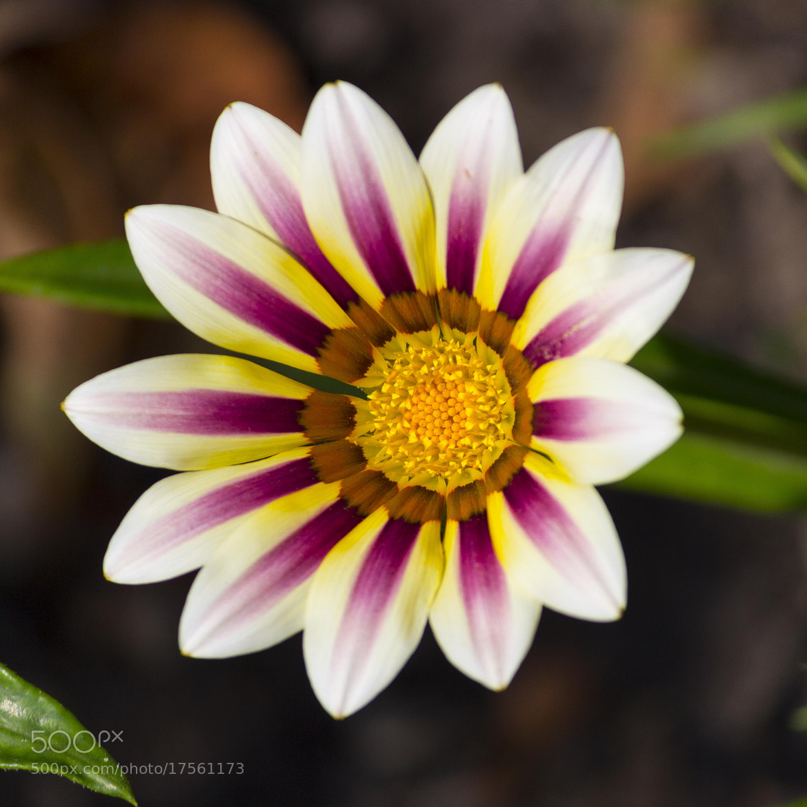 Photograph Clumping Gazania by John Velocci on 500px
