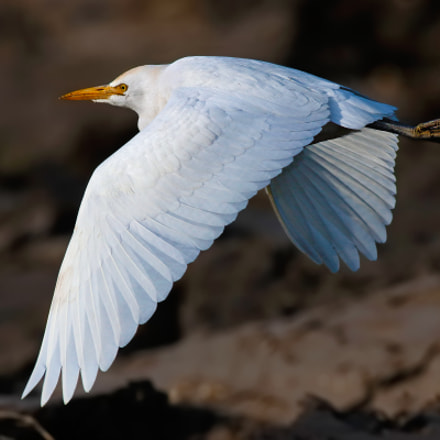 Cattle egret, Canon EOS 7D MARK II, Canon EF 500mm f/4.5L