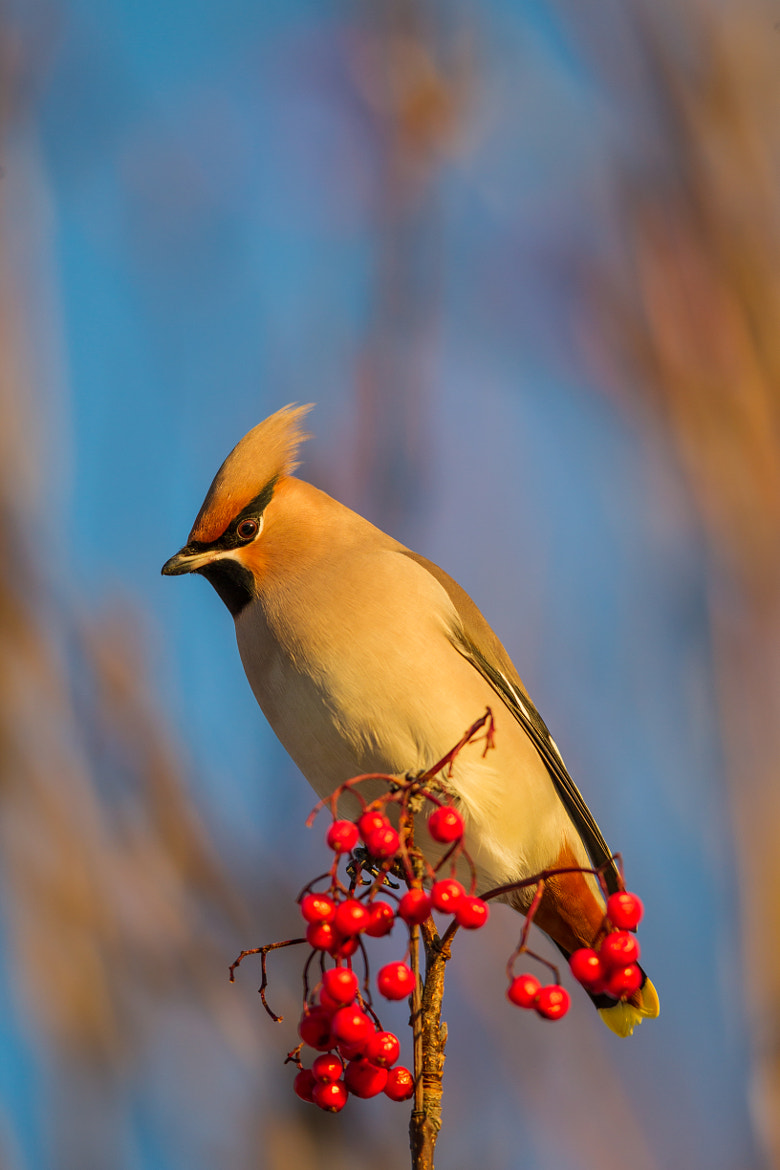 Photograph Bohemian Waxwing - Sidensvans by Alonza  Garbett on 500px