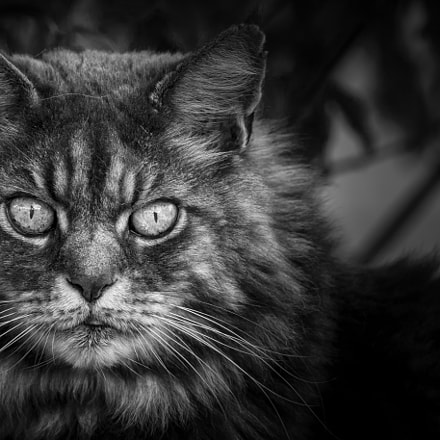 Potrait Of A Tomcat, Canon EOS 5D MARK III, Canon EF 300mm f/4L IS