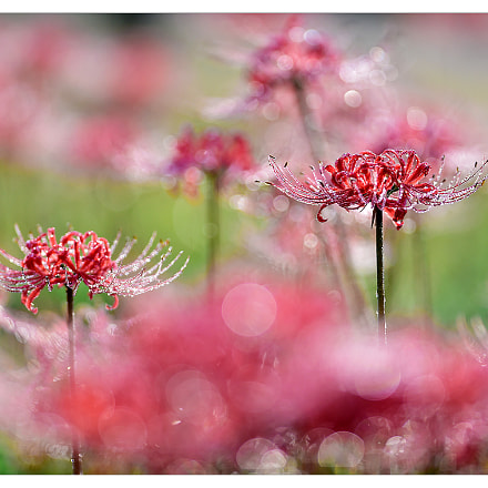 Lycoris radiata, Nikon D4S, AF-S Nikkor 300mm f/2.8D IF-ED