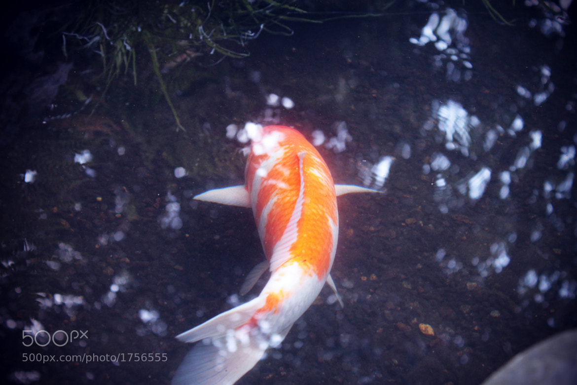 Photograph Golden Koi by Oisin Conolly on 500px