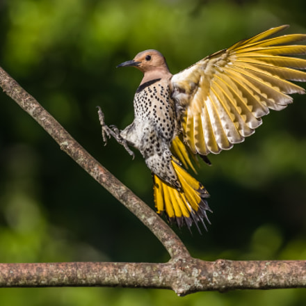 Northern Flicker Under Wing, Canon EOS 7D MARK II, Canon EF 300mm f/2.8L IS II USM