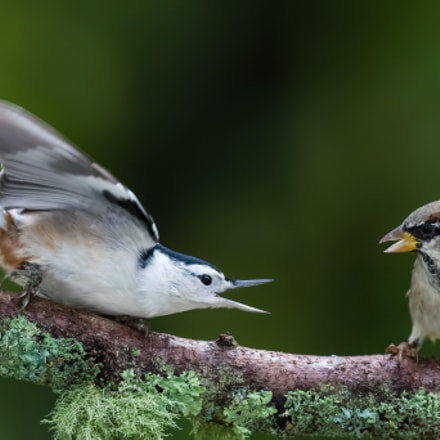 Nuthatch Threating Sparrow, Canon EOS 7D MARK II, Canon EF 300mm f/2.8L IS II USM