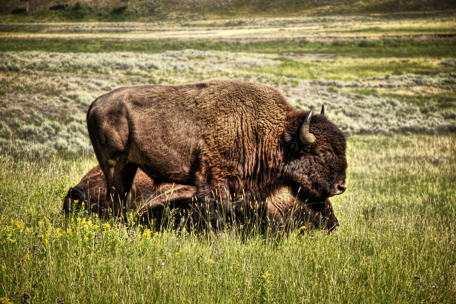 Photograph Yellowstone Bison by Ian McConnell on 500px