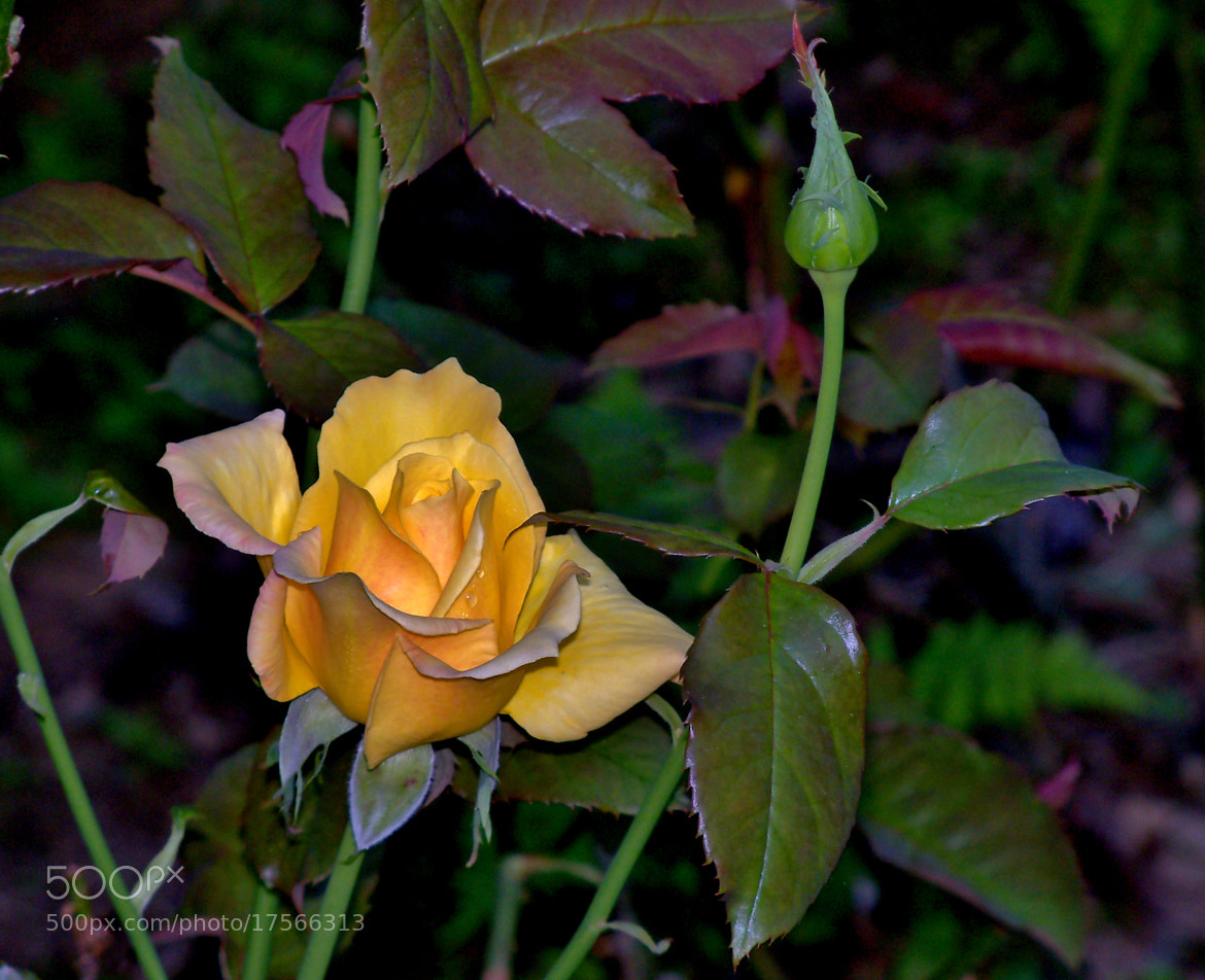 Photograph My Garden Rose by Nancy Andersen on 500px