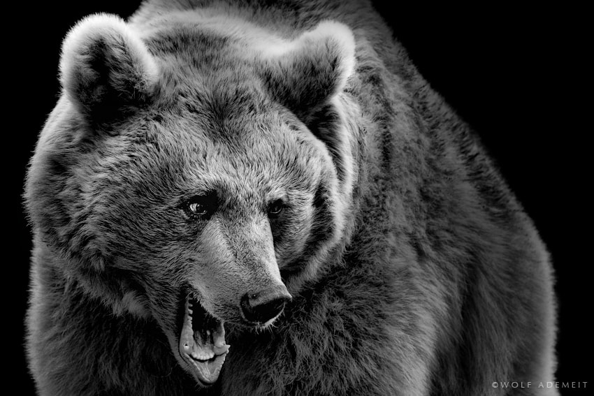 Photograph BIG BROWN BEAR by Wolf Ademeit on 500px