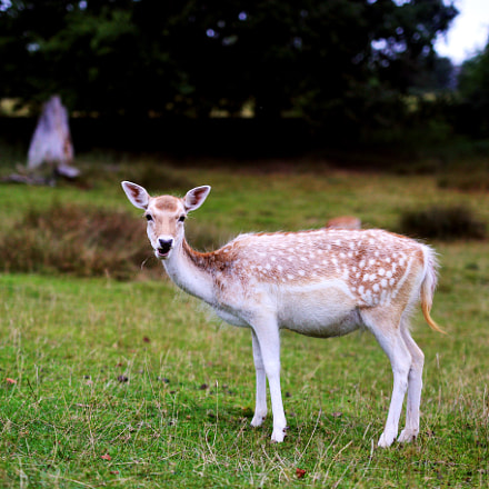 An English deer, Canon EOS 6D, Canon EF 35mm f/1.4L USM