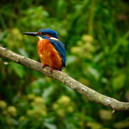 Kingfisher in Hertfordshire, England., Canon POWERSHOT SX50 HS